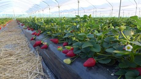 Inicio viveros california plantas de fresas - Viveros de plantas en madrid ...