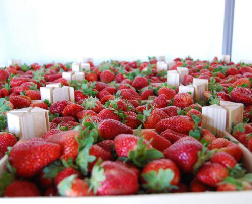 plantas de fresas