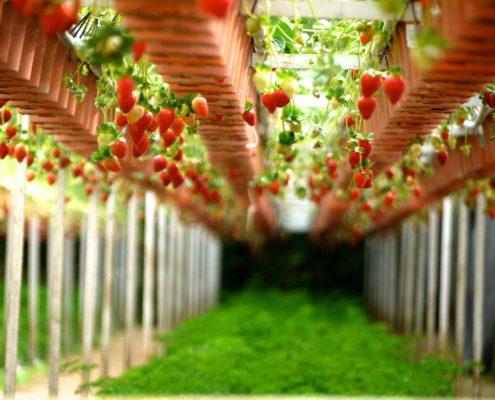 Inicio viveros california plantas de fresas for Importancia de un vivero