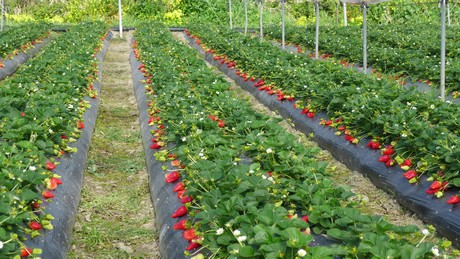 Plantas de fresa y frambuesa