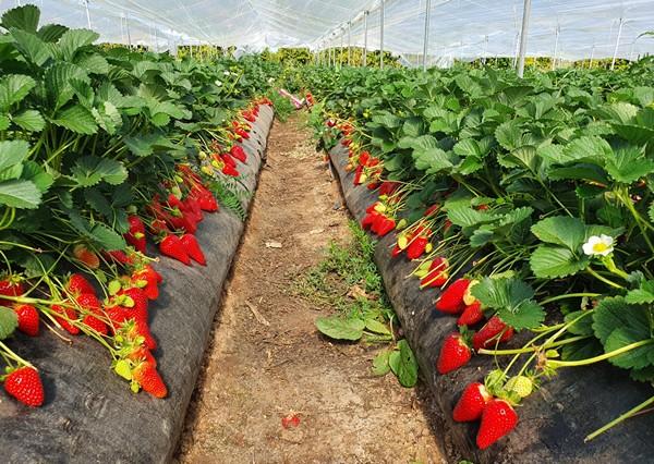 Plantas de fresa Marisol