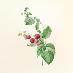 venta de plantas de frambuesa