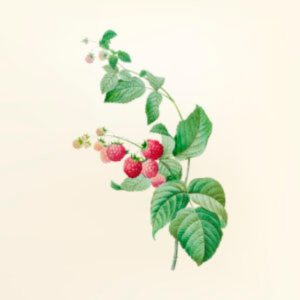 raspberry plant sales
