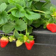 Venta de plantas de fresa Marisol
